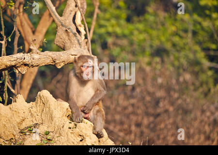 Rhesus macaque on ground - Keoladeo Rajasthan India - Stock Photo