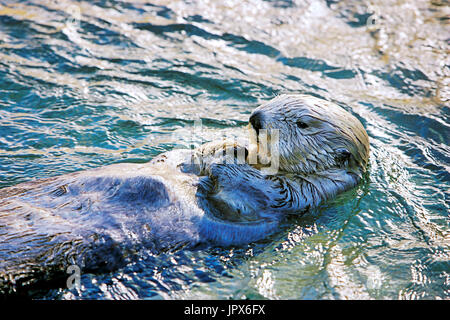 Seaotter floating on its back,evening sunlight Stock Photo