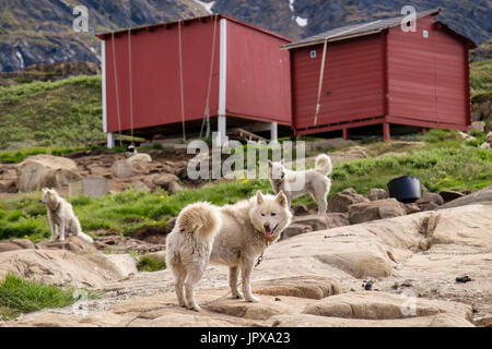 Greenlandic Huskies (Canis lupus familiaris borealis) chained up outside in summer. Sisimiut (Holsteinsborg), Qeqqata, - Stock Photo