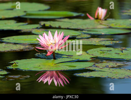 Pink water lily Mpumalanga South Africa - Stock Photo