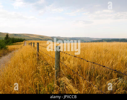 Barbed wire fence running parallel to a dirt pathway surrounded by tall native indian grass in Alberta - Stock Photo