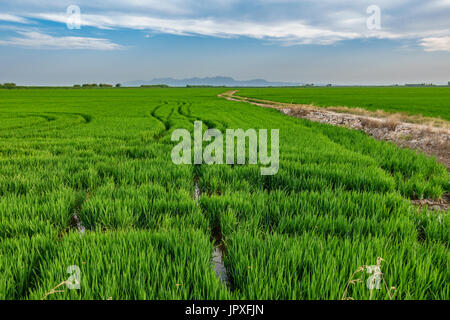 Horchata plantation in Valencia Albufera with truck wheels - Stock Photo