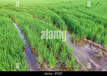 Horchata plantation in Valencia Albufera with tire ruts - Stock Photo