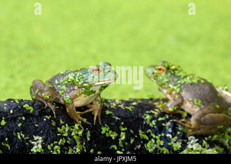 Two American bullfrogs (Lithobates catesbeianus) at Ledges State Park, Iowa, USA - Stock Photo