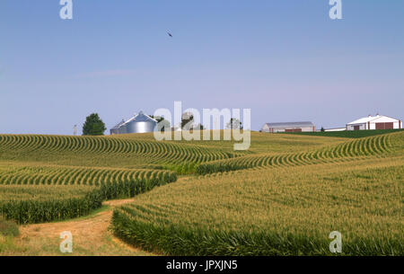 Corn  field in Iowa with blue sky and farm buildings on background - Stock Photo