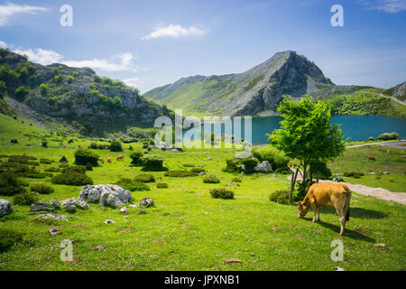 Cows herding on the meadow near Covadonga lakes in Spain in summer sunny day - Stock Photo
