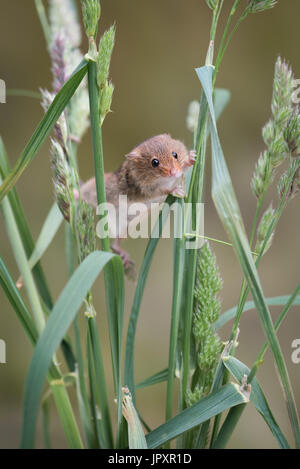 A single solitary harvest mouse climbing up strands of grass and stretching between them upright vertical format - Stock Photo