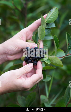 Coswig, Germany. 3rd Aug, 2017. A woman picks ripe Aronia berries from a bush at the Goernitz company's Aronia berry - Stock Photo