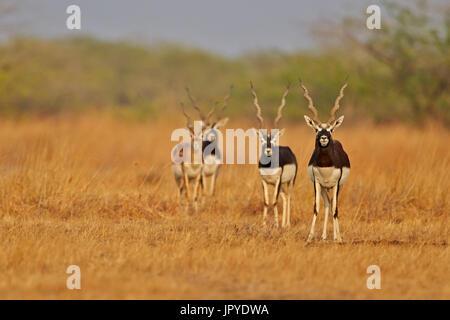 Blackbuck males in savanna - Velavadar India - Stock Photo