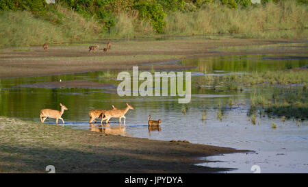 Axis and Macaque Rhesus crossing the river - Bardia Nepal - Stock Photo