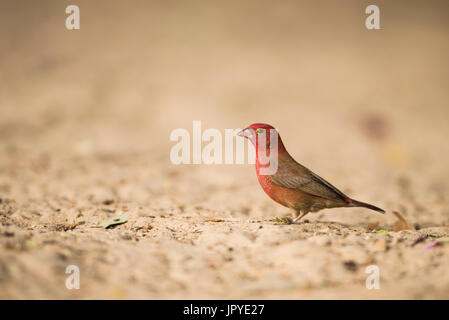 Red-billed Firefinch male - Mar Lodj Island Senegal - Stock Photo