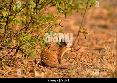 Yellow Mongoose in savanna - Savuti Botswana - Stock Photo