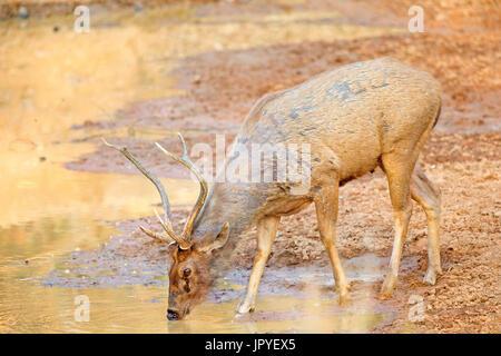 Sambar deer drinking at waterhole - Tadoba Andhari India - Stock Photo