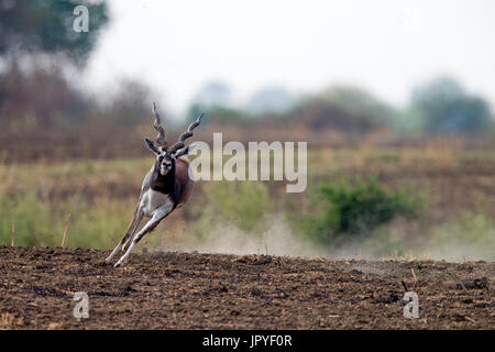 Male Blackbuck running - Satpura India - Stock Photo
