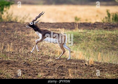 Male Blackbuck walking - Satpura India - Stock Photo