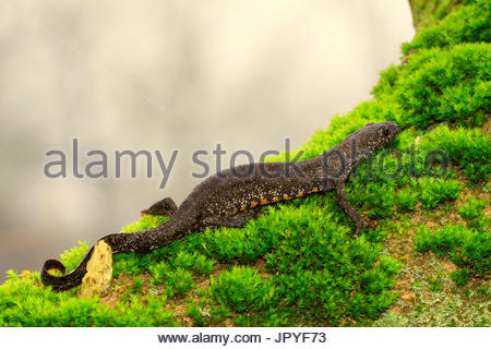 Northern Crested Newt on moss at the foot of a tree - France - Stock Photo