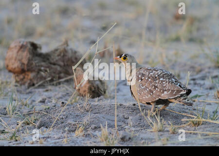 Double-banded Sandgrouse on ground - Botswana - Stock Photo