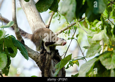 Grizzled giant squirrel on branch - Minneriya Sri Lanka - Stock Photo