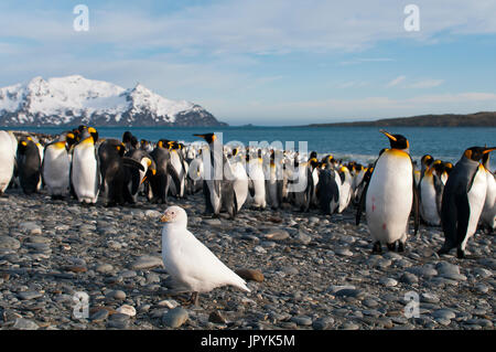 White Chionis and King penguins on shore - South Georgia - Stock Photo