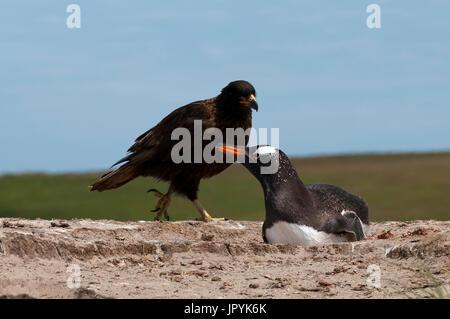 Striated Caracara and nesting Gentoo Penguin - Falklands - Stock Photo