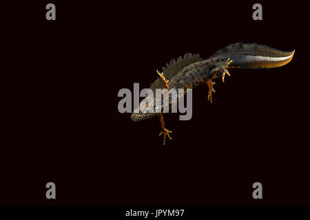 Male Northern Crested Newt swimming on black background - Stock Photo