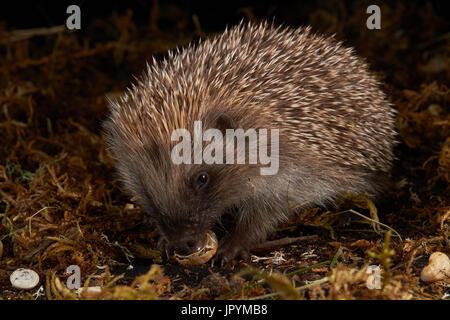Western European hedgehog eating a snail - France - Stock Photo