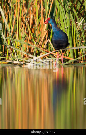Purple Swamphen at water's edge - Brazo del Este Spain - Stock Photo
