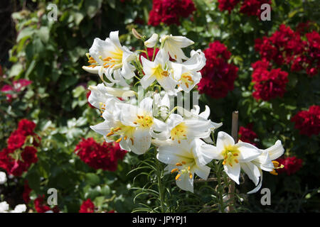 Heavily scented white lily, Lilium Regal Album, and red 'Flower Carpet' roses at the back.