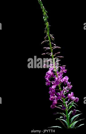 Blooming rosebay willow-herb (Epilobium angustifolium). Medicinal plant. Vall d'Aran. Lleida. Pyrenees. Catalonia. - Stock Photo