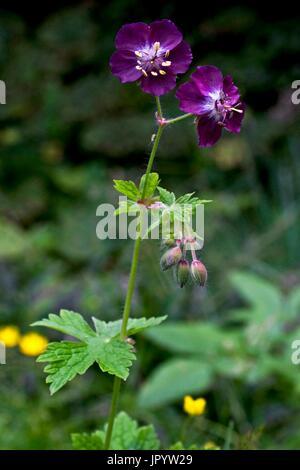 Blooming Dusky Cranesbill (Geranium phaeum). Meadow and grazing plants. Asp Valley. Pyrenees. Urdos. France. - Stock Photo
