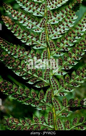 Hard shield fern (Polystichum aculeatum), close-up on a frond with sporangiums. Valle de Grist. Eriste. Ribagorza. - Stock Photo