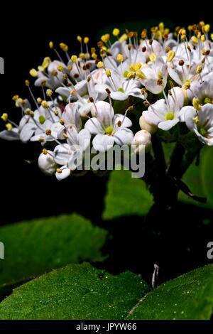 Wayfarer (Viburnum lantana L.) in bloom. Spring. Vallfogona del Ripolles. Ripolles. Girona. Pyrenees. Catalunya. - Stock Photo
