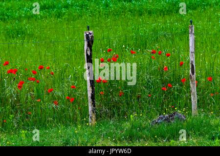 Poppies (Papaver rhoeas L.) in bloom, barley field (Hordeum vulgare L.) and metal hedge. Used as a medicinal plant. - Stock Photo
