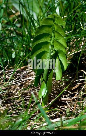 Common moonwort (Botrychium lunaria (L.) Sw.) with sporangium. Fern on mountain pastures. Pyrenees. Huesca. Aragon. - Stock Photo