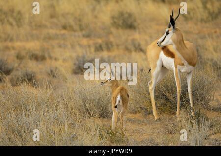 A mother Springbok (Antidorcas marsupialis) with her young in the Kalahari desert, Kgalagad Transfrontier Park, - Stock Photo