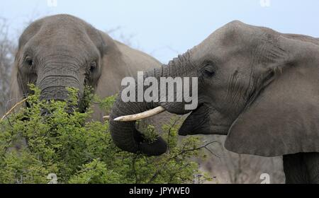 Two African Elephants (Loxodonta africana) feed in the South African bush, Kruger National Park, Mpumalanga, South - Stock Photo