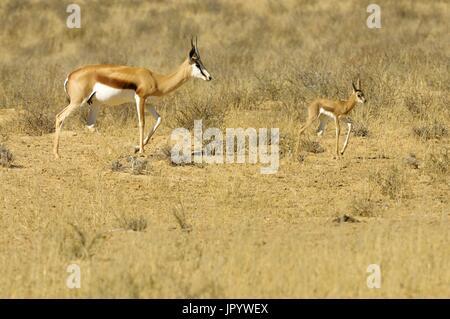 A mother Springbok (Antidorcas marsupialis) with her young moving in the Kalahari desert, Kgalagad Transfrontier - Stock Photo