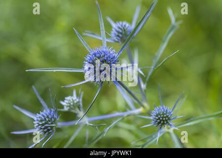 Amethyst eryngo (Eryngium amethystinum), flowers, Abruzzo, Italy - Stock Photo