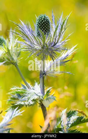 Sea holly (Eryngium alpinum) flowers, Alpes, France - Stock Photo
