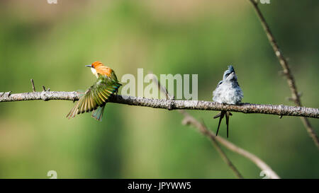 Crested Treeswift (Hemiprocne coronata) and Chestnut-headed bee-eater (Merops leschenaulti) on a branch, Ella, Sri - Stock Photo