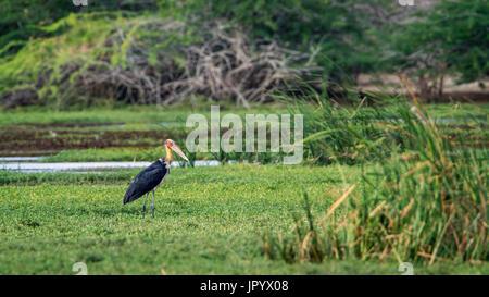 Lesser adjudant (Leptoptilos javanicus) in marsh, Bundala National Park, Sri Lanka - Stock Photo