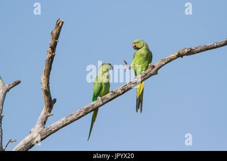 Rose-ringed parakeet (Psittacula krameri) on a branch, Arugam bay lagoon, Pottuvil nature reserveSri Lanka - Stock Photo