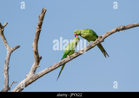 Rose-ringed parakeet (Psittacula krameri) male feeding is young on a branch, Arugam bay lagoon, Pottuvil nature - Stock Photo