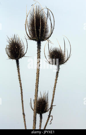 Fuller's teasel (Dipsacus fullonum), Mature and Dry Inflorescences in Spring, Roadside Hyeres, France - Stock Photo