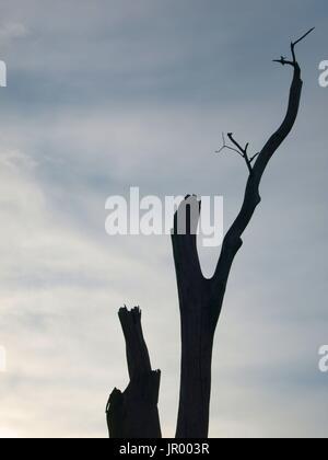 Dead tree limbs against  clear blue sky - Stock Photo