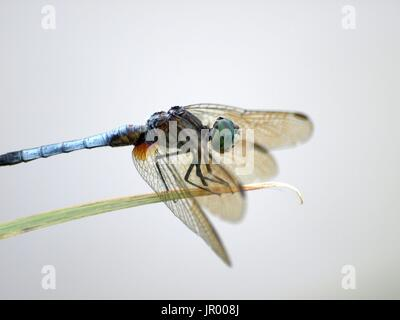 Single dragonfly resting on leaf tip - Stock Photo