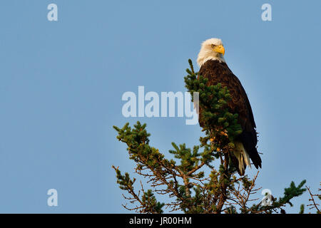 A mature bald eagle ' Haliaeetus leucocephalus'; perched on the top of a spruce tree in Jasper National Park, Alberta - Stock Photo
