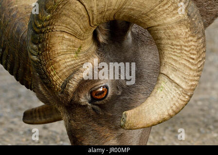 A close up side view of a wild bighorn sheep's face showing the eye and curl of his horn - Stock Photo