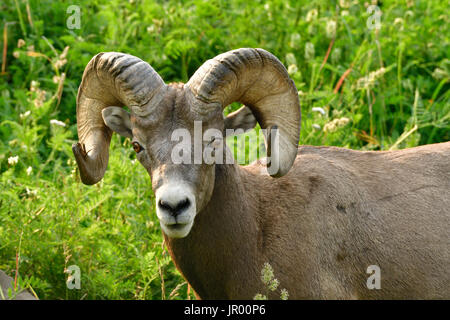 A portrait view of a wild Bighorn Sheep  'Ovis canadensis' standing in a field of green grasses and deep vegetation. - Stock Photo