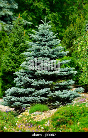 A blue spruce tree growing on the edge of a garden in rural Alberta Canada - Stock Photo
